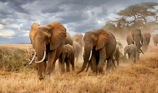 kenya_elefantes_510